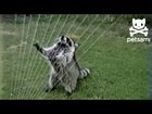 Raccoon plays sprinkler harp