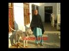 Pakistan bull dog choudary Shaki choudary Taleb choudary irfan from gujar khan Bewal POTHWAR 2012