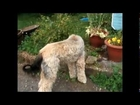 Belle our Afghan Hound dog picking and eating Gooseberries in the garden pets4ever